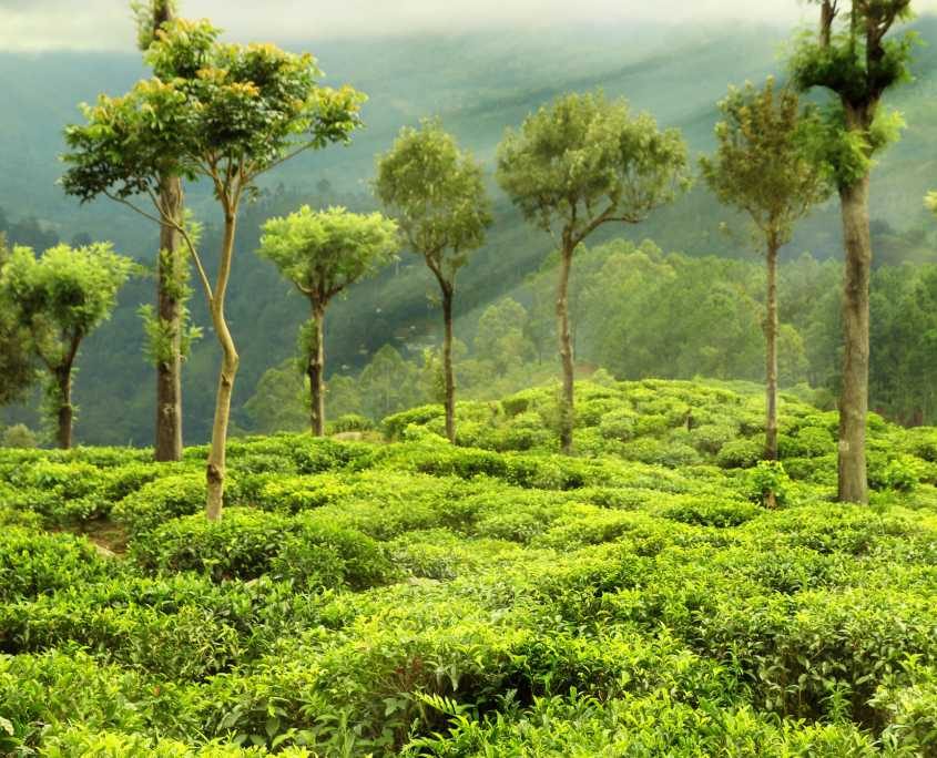 OZ Assam Plantage Earl Grey
